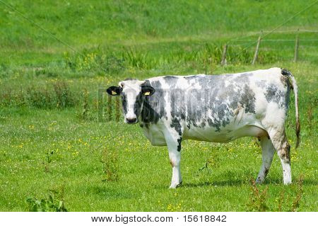 Black and white Dutch cow in grass fields