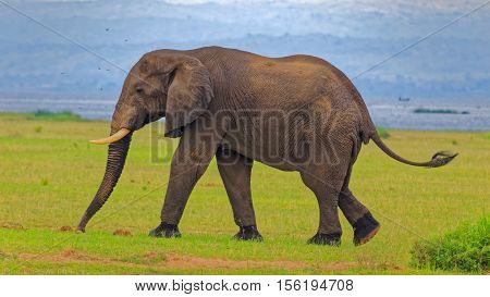 African bush elephant replenishing mineral from soil