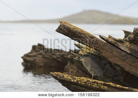 Black-crowned Night-heron (Nycticorax nycticorax falklandicus) hunting amongst rock pools along the coast of Carcass Island in the Falkland Islands.