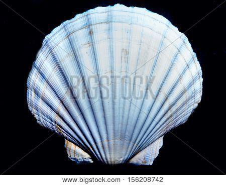 Shell on the black,  scallop sea shells, background, scallop shell, white shell on black, white shell, Marine Seashell, molluscs