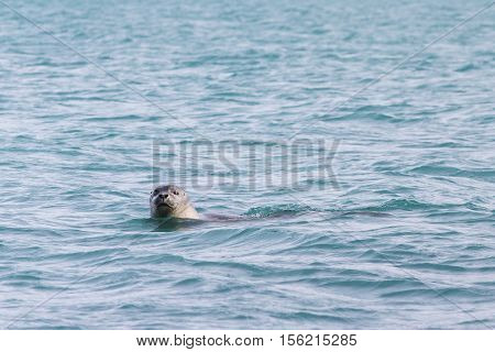 Seal swimming in blue water. Frontal view of head emerging above the water surface with eye contact, one eye half closed.