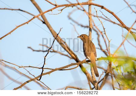 Hypocolius perched on the branch of a tree in Bahrain