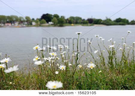 Daisies near the river Lek in Holland with focus on flowers