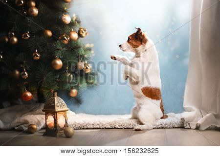 Jack Russell Terrier dog. Christmas season 2017 new year holidays and celebration