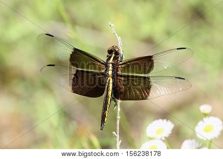 A female widow skimmer dragonfly with black saddle wings open, clinging to dead flower stem with small white wildflowers in background.