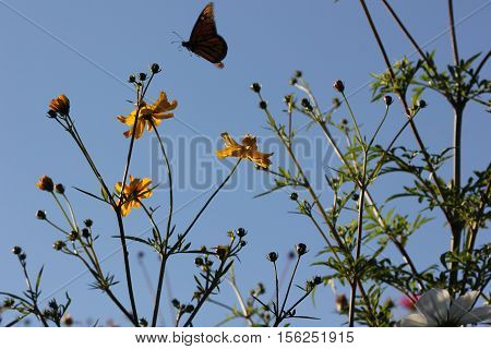 Monarch Butterfly in restored habitat gathering nectar