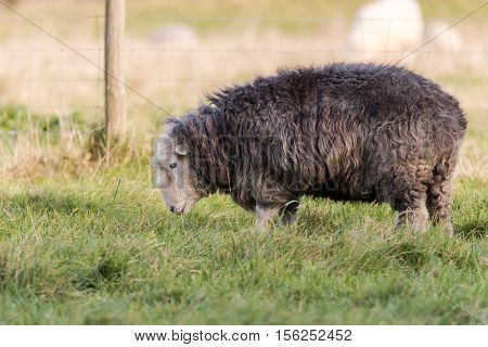 Herdwick ewe grazing in field. Domestic sheep breed native to the Lake District in Cumbria prized for tough characteristics