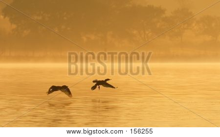Cormorants On Foggy Pond
