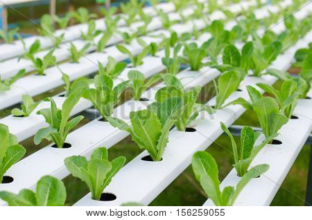 Sprout hydroponic vegetables growing in greenhouse Thailand cos lettuce