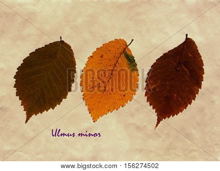 Herbarium from pressed and dried leaf of Field Elm on antique brown craft paper with Latin subscript Ulmus minor.