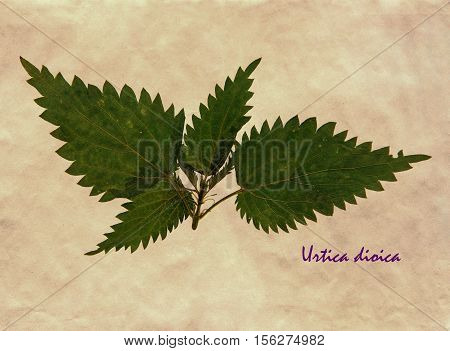 Herbarium from pressed and dried leaves of stinging nettle on antique brown craft paper with Latin subscript Urtica dioica.