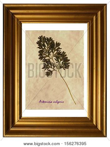 Herbarium from pressed and dried leaves of common wormwood (Artemisia vulgaris) in the frame.