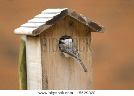 Carolina Chickadee at Birdhouse