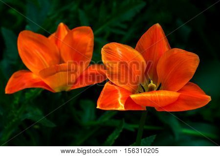 Close-up of tulipa flowers. Macro photography of nature.