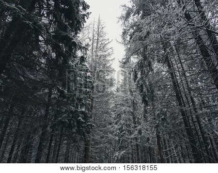 Winter forest in snow minimalism style hues nature trees pine wallpaper view