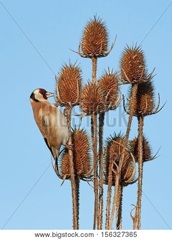 European goldfinch sitting on a teasel with blues skies in the background