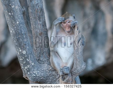 Macaque monkey scratching her head in the jungle of Sam Roi Yot National Park south of Hua Hin in Thailand