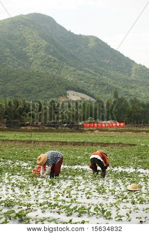 the chinese farmer working on field