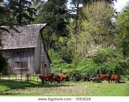 Cattle And Weathered Barn