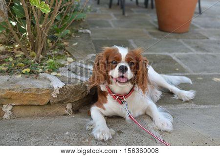 Lovely dog - Cavalier King Charles Spaniel Blenheim - lying on stone garden path