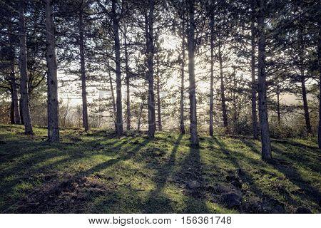 forest pines backlight in Nebrodi Park, Sicily