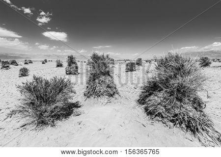 Sandy desert and shrub at Devils Cornfield, Death Valley National Park. California, USA