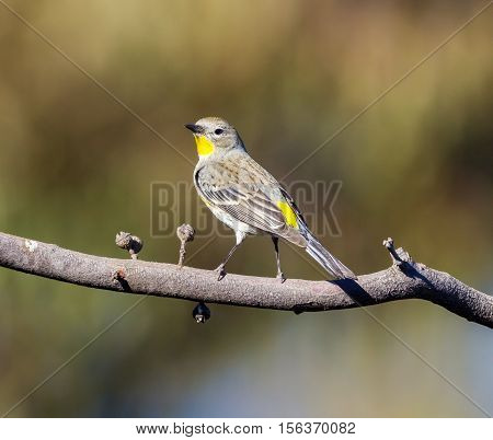 An eye-catching bird with ashy gray and lemon-yellow plumage, the Western Kingbird is a familiar summertime sight in open habitats across western North America.