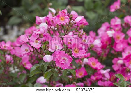 Pink rosa canina known as the dog rose is a variable climbing wild rose species native to Europe northwest Africa and western Asia.