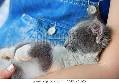 Fluffy gray funny kitten resting in arms of a person.