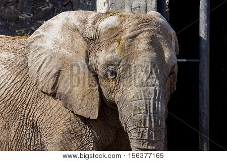 Once common throughout Africa and Asia, elephant numbers were severely depleted during the twentieth century, largely due to the massive ivory trade. While some populations are now stable and growing.