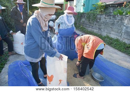 The farmers harvest the rice situation in Thailand.