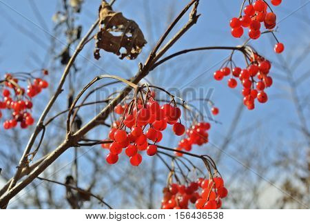 A close up of the berries of arrow-wood.