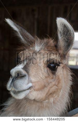 South American Llama - animal close-up portrait