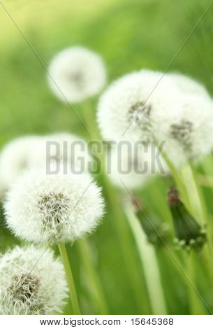 coltsfoot macro on green background