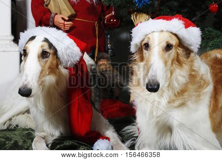 large dogs, Borzoi sight-hounds dressed as father-christmasd with season greetings