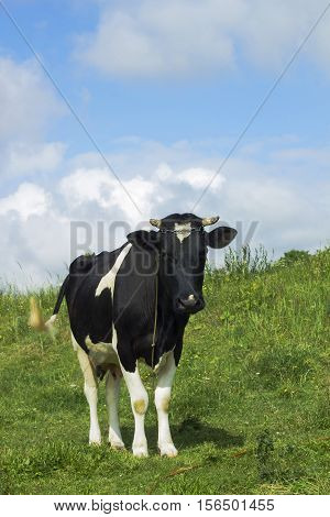 Pastoral scene black and white cow grazing in meadow under blue cloudy sky