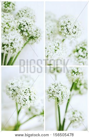 Cards Set of Onion Flowers Soft Focus
