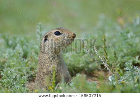 Cute European ground squirrel (Spermophilus citellus Ziesel) sitting on a field