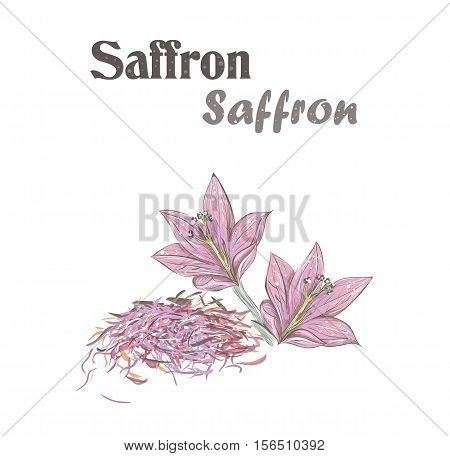 Saffron spice. Crocus flower. Skech Saffron vector illustration.