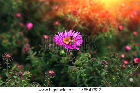 insect bee pollinates a beautiful pink flower in the summer at sunset