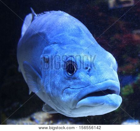 Big wild fish in aquarium. Wild blue fish with open mouth in water. Swimming big fish.