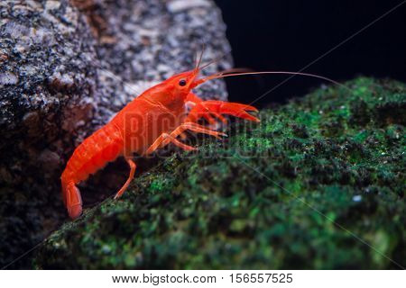 Red swamp crawfish (Procambarus clarkii), also known as the Louisiana crawfish.