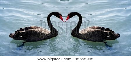 2 swans forming a love heart