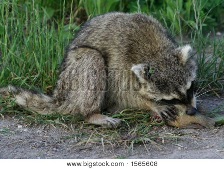 Raccoon Eating A Fish