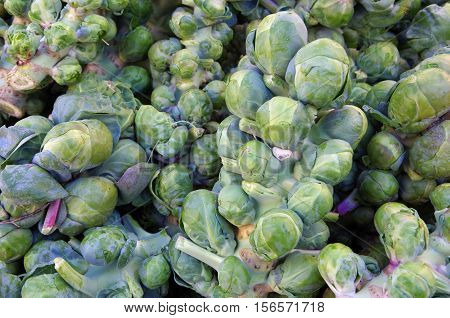Green fresh picked brussel sprouts on stalks for farmers market