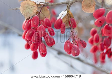 bright red barberries with snow winter background