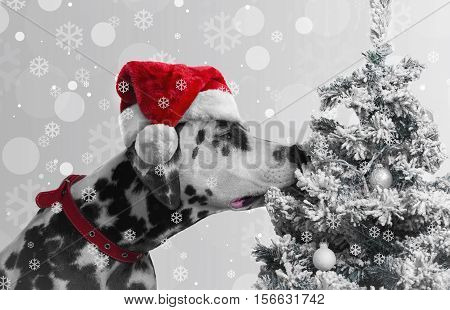 Black and white spotted dog Dalmatian curious sniffing Christmas tree with toys covered snow balls. Dog looking Christmas gift to the tree. On the dog red Santa Claus cap. Christmas snow background.