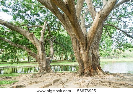 old giant tree spread branches in the park