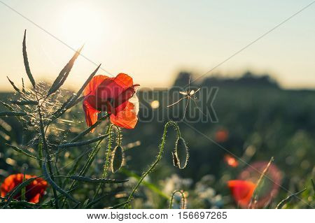 Poppy and rape country background with some insects on it