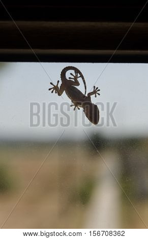 View of a small gecko on a window